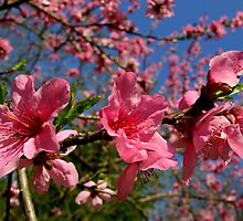 Peach Blossoms by Brent McMurry