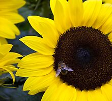 Summer Days Honey Bee in Sunflower by Silken Photography