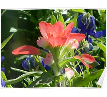 Indian Paintbrush and Bluebonnets Poster