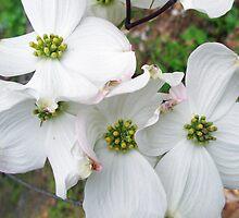 Flowering Dogwood Wildflower - Cornus florida by MotherNature