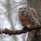 Barred Owl in the Mist by Bill McMullen