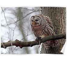 Barred Owl in the Mist Poster