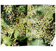 Bees on Ivy Poster
