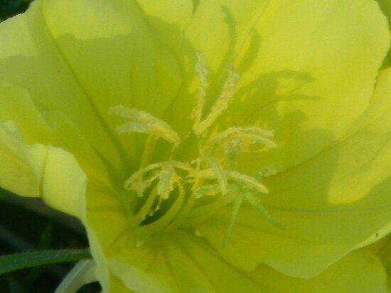 Evening Primrose Close-Up by Navigator