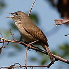 Southern House Wren  by Dennis Cheeseman
