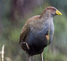 Novoflex640-_0020 --straight from camera just reduced - just singing in the rain !! by Ron Co