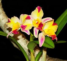 Fire Magic Cattalaya Orchids by vette