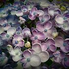 Blue and Purple Hydrangeas by kahoutek24