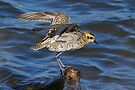 Pacific Golden Plover taken Stockton Channel by Alwyn Simple