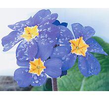 Lilac WF Pansies Photographic Print