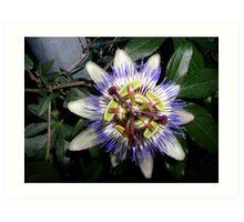 Passion flower (passiflora incarnata) Art Print