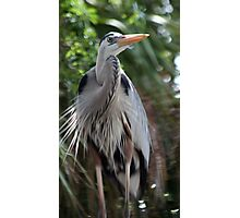 Great Blue Heron No.1 Photographic Print