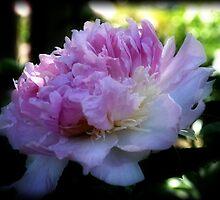 Softest Pink Peony by Eva Thomas