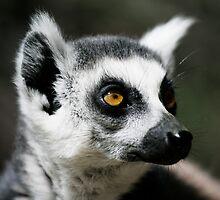 Ringtail Lemur by Alex Sharp