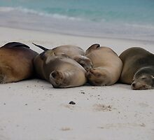 Galapagos Sealion Relaxing on the beach by Alex Sharp