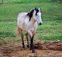 Dapple Gray Horse by BluePhoenix