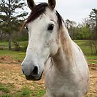 Dapple Gray Portrait by BluePhoenix