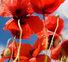 poppies everywhere by Alex Sharp