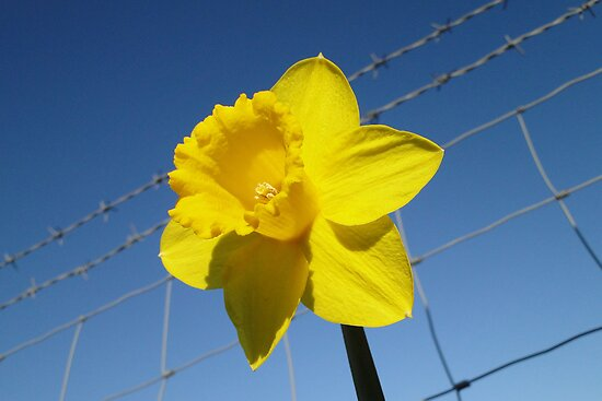 Daffy On The Safe Side Of The Fence by Barrie Woodward