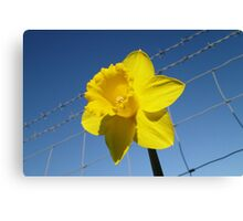 Daffy On The Safe Side Of The Fence Canvas Print