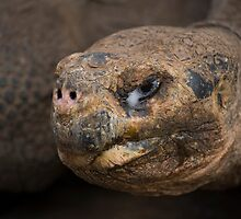 Galapagos Tortoise by Alex Sharp