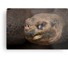 Galapagos Tortoise Metal Print