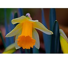 Wild Daffodil Trumpet and Head. Low Coniscliffe, England Photographic Print