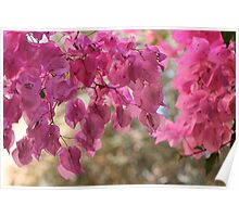 Bougainvillea  is a genus of flowering plants native to South America from Brazil . by Brown Sugar. Views - 366. Poster