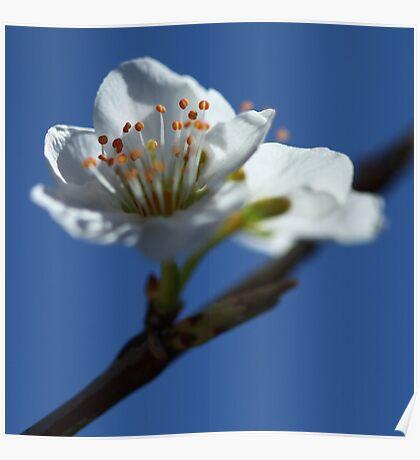 Plum Blossom, Pago del Humo, Spain 2012 Poster