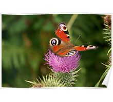 Delicate butterfly on threatenting thistle Poster