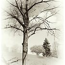 Pin Oak by LocustFurnace