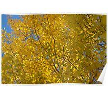 Golden Aspens Poster