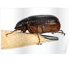 May Beetle Poster
