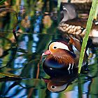 Reflections of a Mandarin Duck by Silken Photography