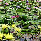 Waterlily Pond - Wallis Creek Water Gardens, Mulbring by Gabrielle  Lees