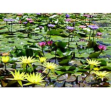 Waterlily Pond - Wallis Creek Water Gardens, Mulbring Photographic Print