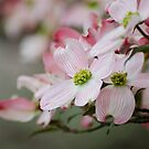 Pink Dogwood Blooms by DonCondley