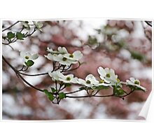 White Dogwood Blooms/Pink Dogwood Backdrop Poster
