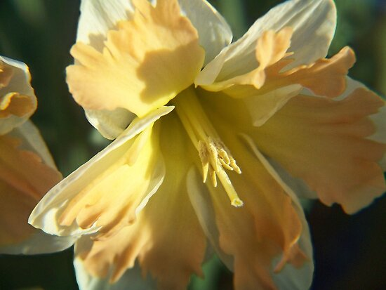 Split Corona Daffodil by James Brotherton