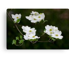 White Dogwood Blooms Canvas Print