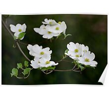White Dogwood Blooms Poster