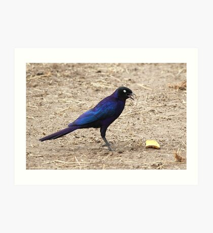 Long tailed Glossy Starling  Art Print