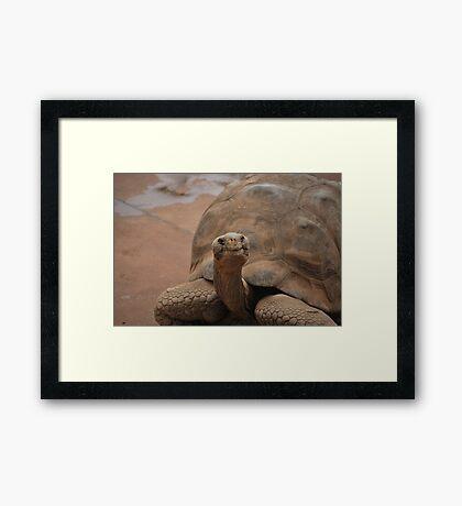 Galapagos Turtle Framed Print