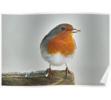 European Robin (red brest) with his catch Poster