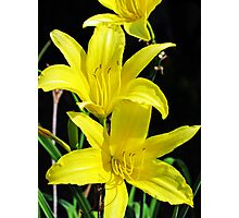Daffodil Tendrils Photographic Print
