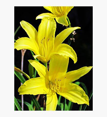 Daffodil Tendrils Photographic Print