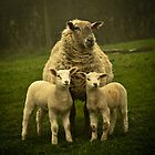 Spring Lambs by Paul Richards