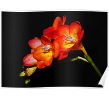 One Spray of Freesia Poster