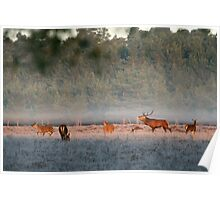 Bellowing stag, New Forest Poster