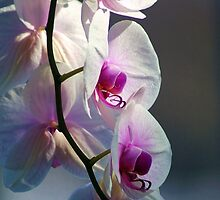 Orchids by Lisa Bianchi